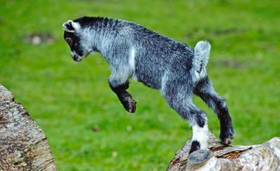 Die Tiere klettern gerne, ihr Gehege muss entsprechend gestaltet sein.
