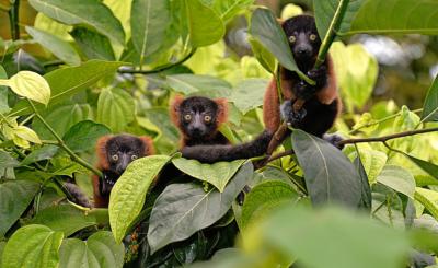 Die drei Roten Varis entdecken im Masoala-Regenwald des Zoos Zürich die Welt. In freier Wildbahn sind die Tiere bedroht.