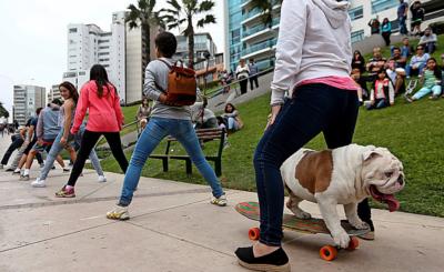 Bulldogge Otto stellte im peruanischen Lima seinen Rekord auf: Er sauste durch einen Tunnel aus 30 Menschenbeinen.