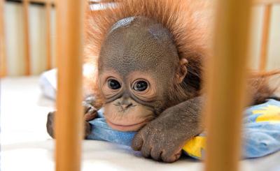 Die kleine June-Junior wird im Orang-Utan-Spital auf Borneo grossgezogen.