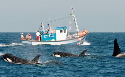 Die Orcas haben keine Angst vor Katharina Heyers Forschungsschiff.