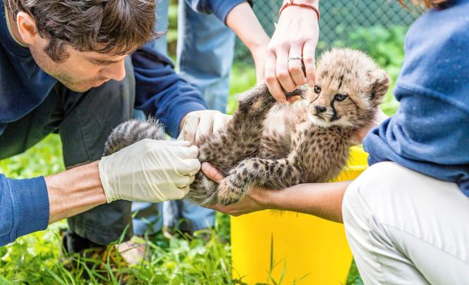 Noch ist das Gepardbaby zahm: Tierarzt Stefan Hoby beim ersten Gesundheitscheck.