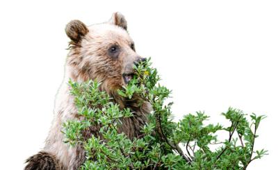 Bärenstark! Um Milben und Zecken zu bekämpfen, zerkauen Grizzlys die Blätter des Ligusters, verteilen den Brei auf ihren Pfoten und reiben ihr Fell damit ein. Angeblich entdeckten die Navajo-Indianer dank der Bären die Heilkraft der Pflanze.