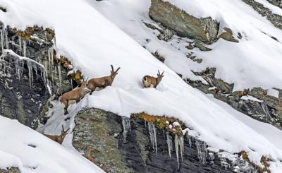 Vorsicht, Gefahr: Im Winter können die Tiere auf eisigen Flächen ausrutschen oder in Lawinen kommen.