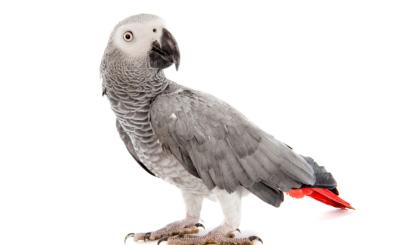 Beim Kauf von Graupapageien ist Vorsicht geboten – den Tieren zuliebe.