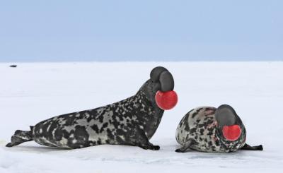 Spielen diese Robben mit einem Ball? Aber nein: Die Klappmützen, die in den arktischen Meeren vorkommen, blasen ihre «Nasenballons» auf und schwingen sie hin und her, um Weibchen zu bezirzen und Konkurrenten zu übertrumpfen.