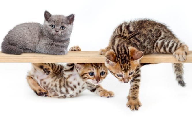 Zu den beliebtesten Rassen gehören Britisch Kurzhaar (l.o.), besonders wertvoll sind Bengalkatzen.