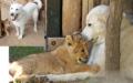 Das Löwenbaby erhält von Hund Justice Unterricht in «tierischer Etikette».