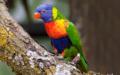 Im Zoo Zürich entsteht eine Australienanlage, die Loris sind bereits eingezogen.